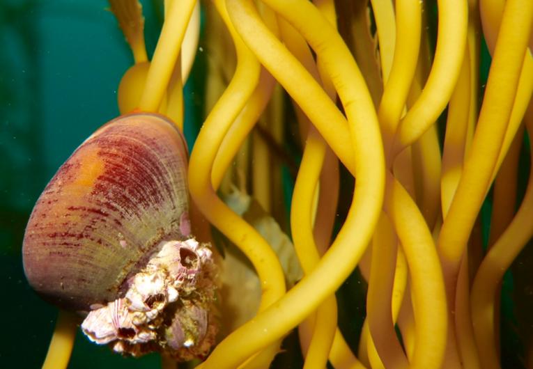 Norris topsnail (kelp snail).png
