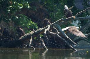 All 5 eagles together