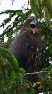 Hide n seek eaglet