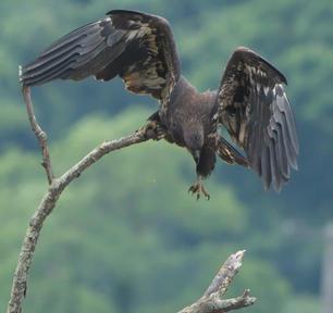 Eaglet Wrong Talon
