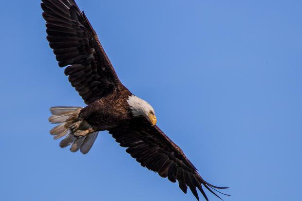 eaglemomflyig--2 copy.jpg