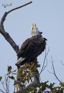 Eaglet Howeling