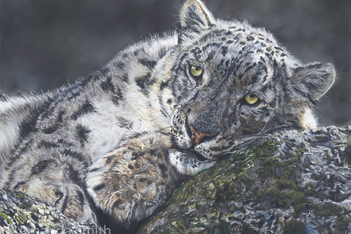 Snow Leopard at Rest