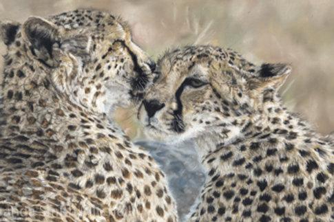 'Tenderness'- Cheetahs