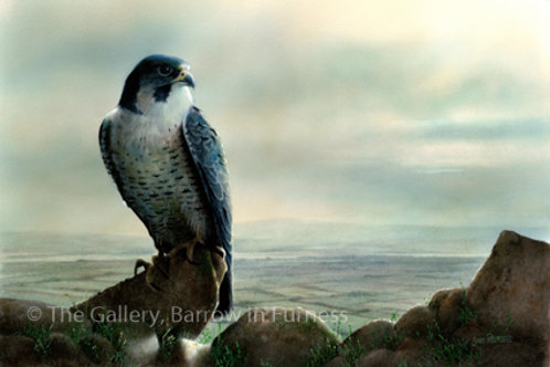 Peregrine watching over the Duddon Estuary
