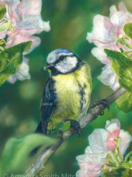 Blue Tit Amongst Blossom
