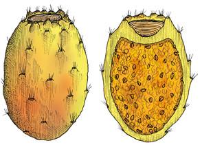 cactus_figue_FRUIT_illustration_on_va_deguster_litalie_illustrateur_cuisine_edited.jpg