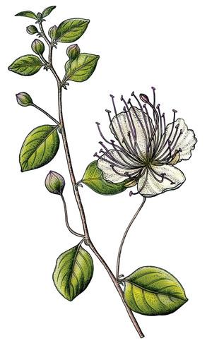 fleur_capre_illustration_on_va_deguster_litalie_illustrateur_cuisine.jpg
