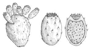 FIGUE_PLANCHE_NB_illustration_on_va_deguster_litalie_illustrateur_cuisine.jpg