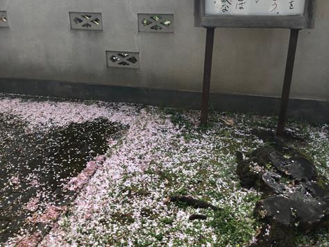【桜巡り】