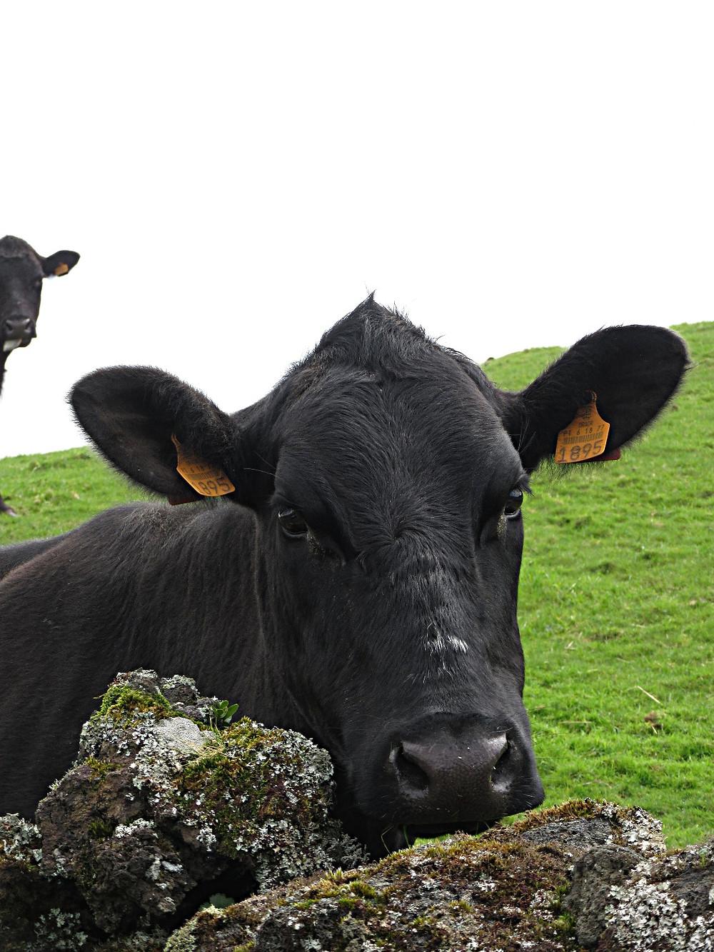Traveleidoscope:  Azores - Cows!