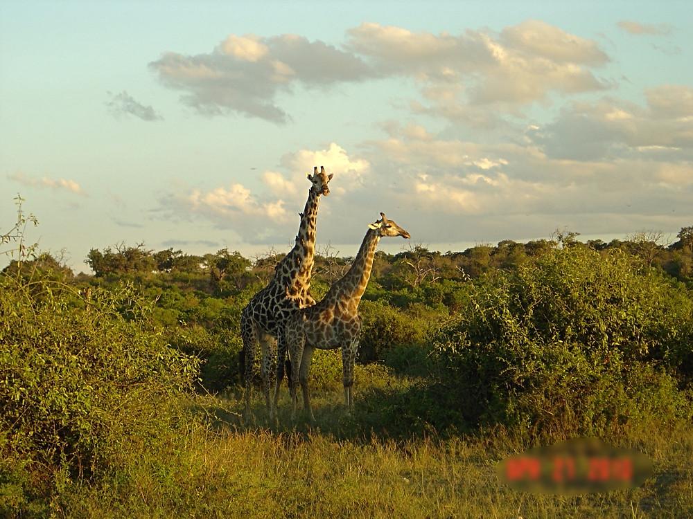Giraffes in Chobe National Park.  Botswana.