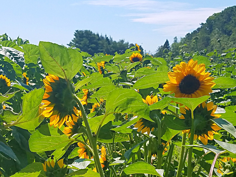 Traveleidoscope:  Sunflowers