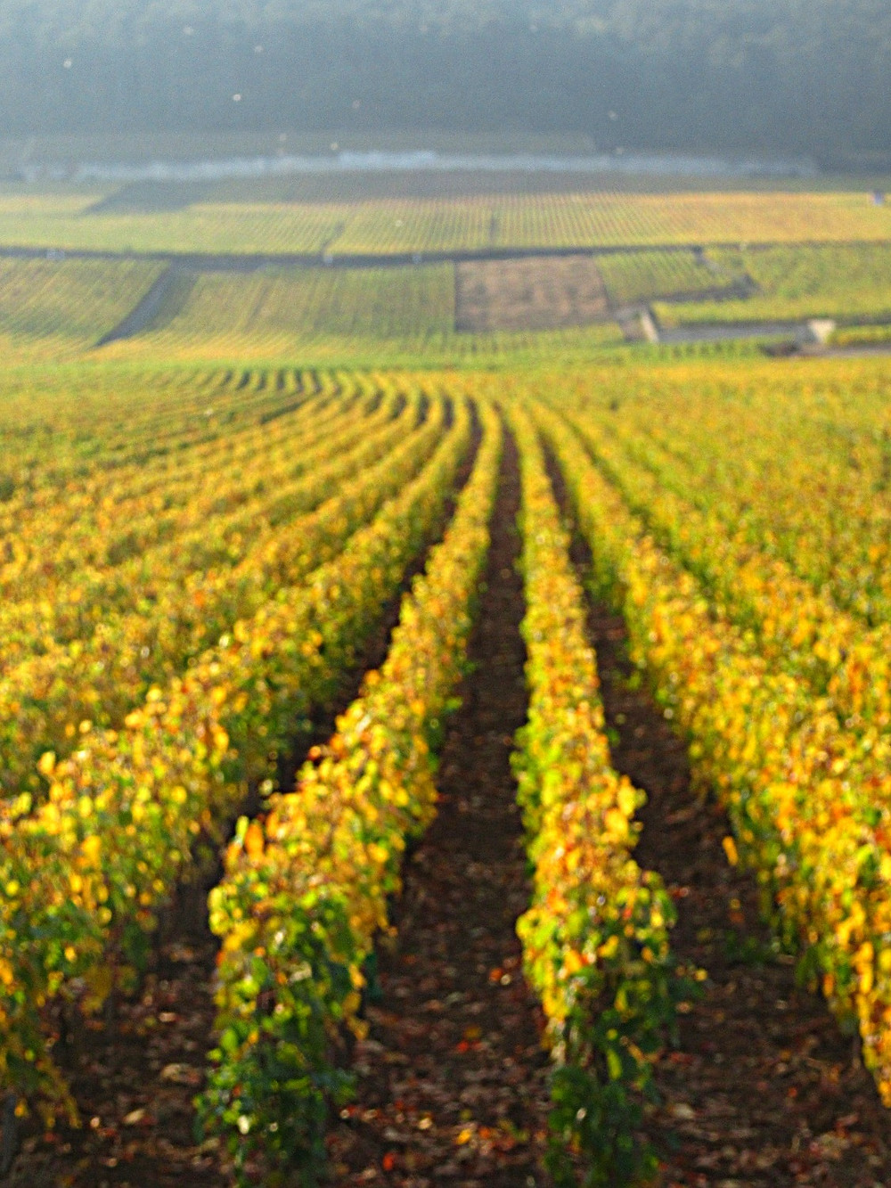 photo of golden vineyards in the French wine region of Burgundy