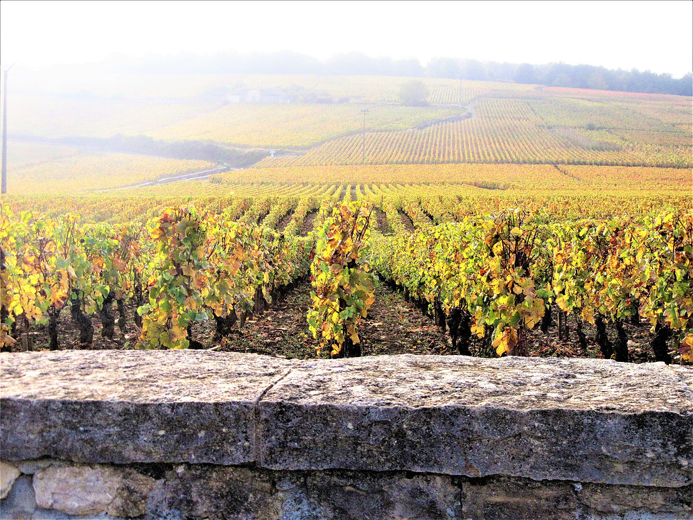 Photo of golden vineyards in France