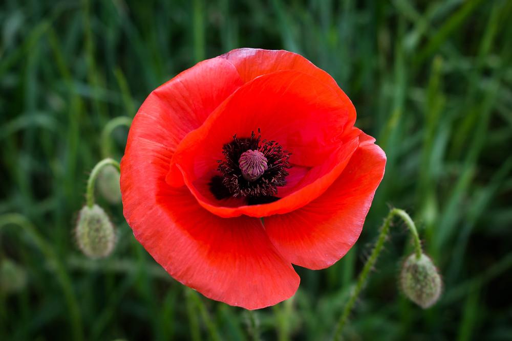 Photo of poppy flower by by Victoria Tronina on Unsplash