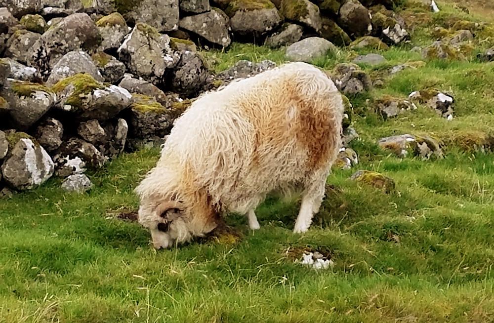 Traveleidoscope:  visit one of  80,000 Faroe Island Sheep
