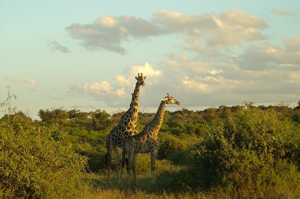 photo of  mama and baby giraffe in Botswana