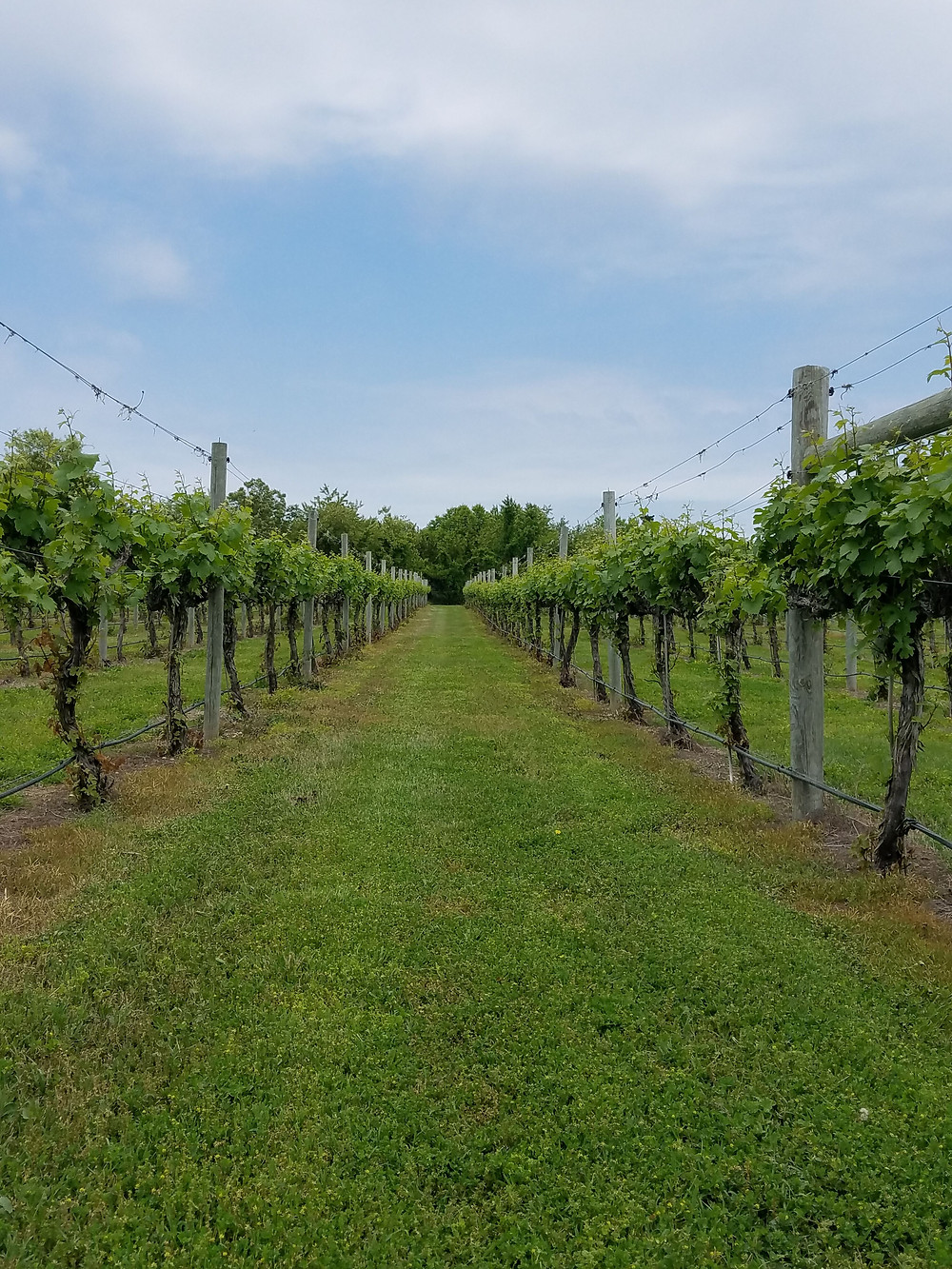photo of vineyards in southern New Jersey