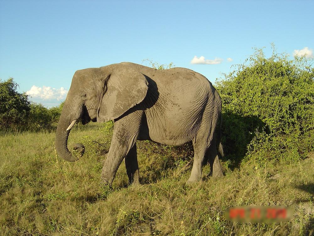Elephant in Chobe National Park.  Botswana.
