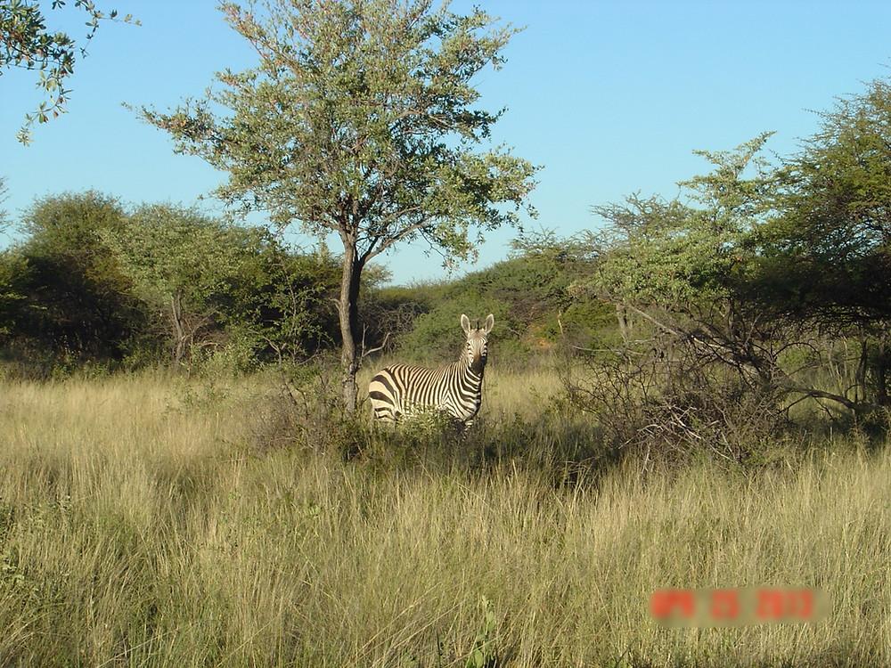 Zebra. Namibia