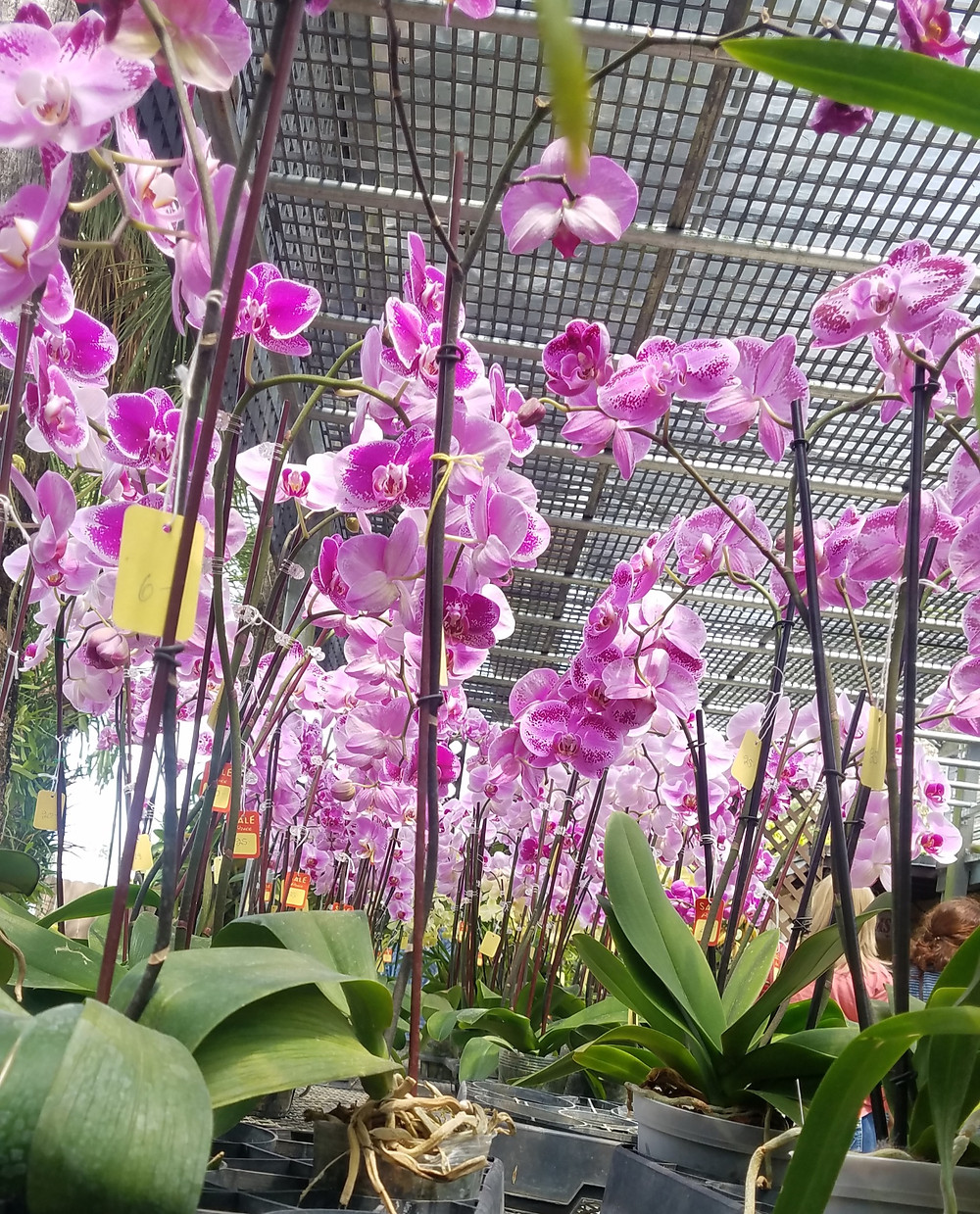 Orchids at RF Orchids, Homestead, Florida