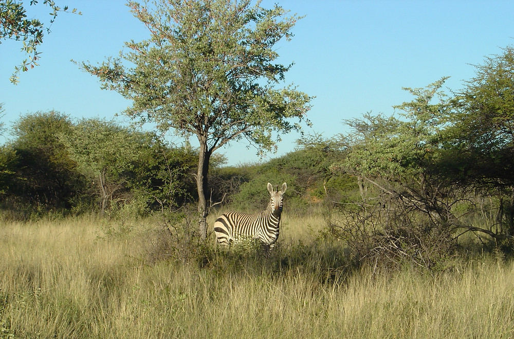 photo of zebra near a tree on the savanna