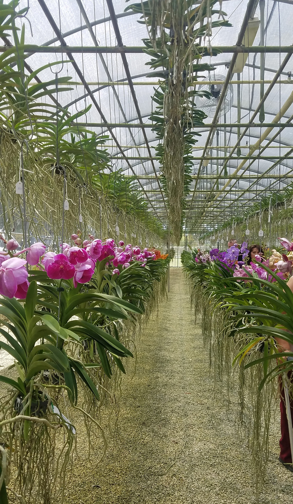 Inside the greenhouse at RF Orchids, Homestead, Florida