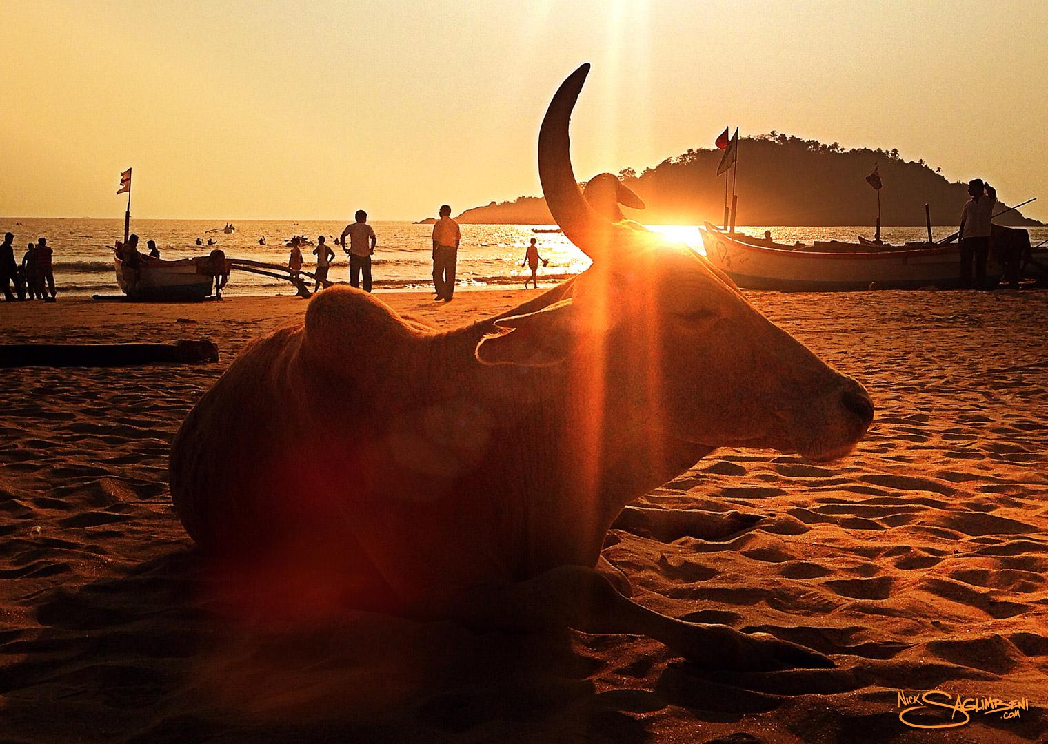 india-goa-sacred-cow-beach-palolem-nick-