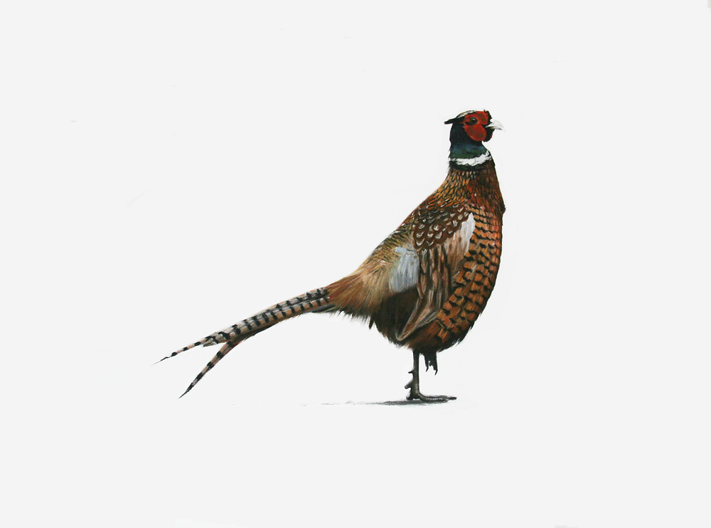 Pastel Pheasant Drawing