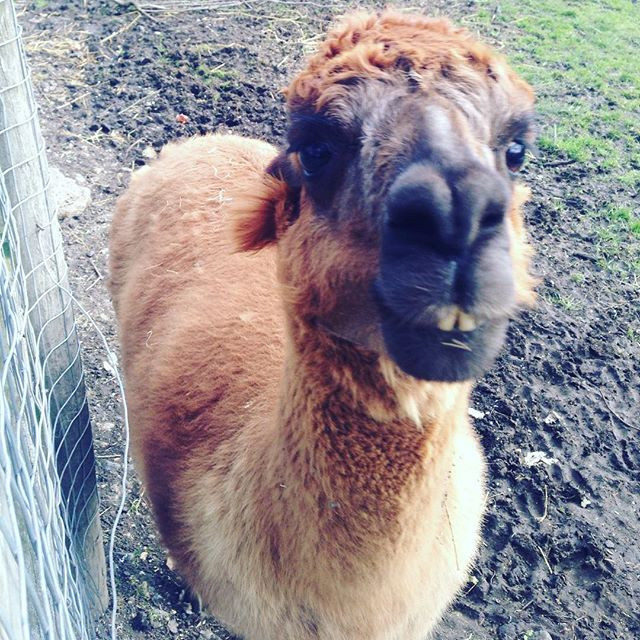 Alpaca from Mudchute City Farm