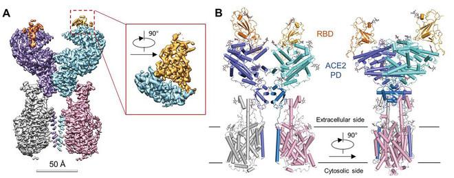 Miền liên kết thụ thể (receptor binding domain - RBD), là thứ vũ khí mà virus dùng để liên kết vào miền peptisase (DP) trên thụ thể ACE2 của tế bào phổi.