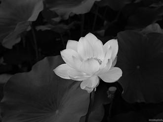 56+ ảnh hoa sen trắng làm hình đại điện (avatar) nhà có tang