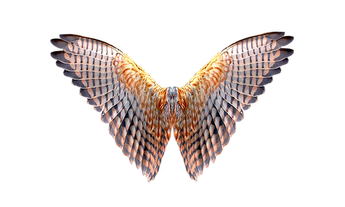 Đôi Cánh Chim PNG PSD Photoshop 17
