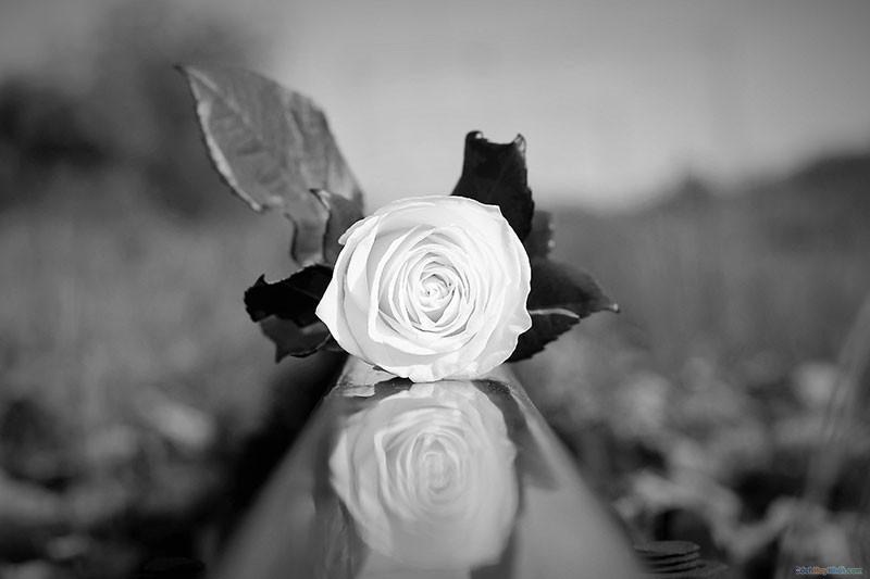 Bông hoa hồng trắng nằm trên đường ray xe lửa