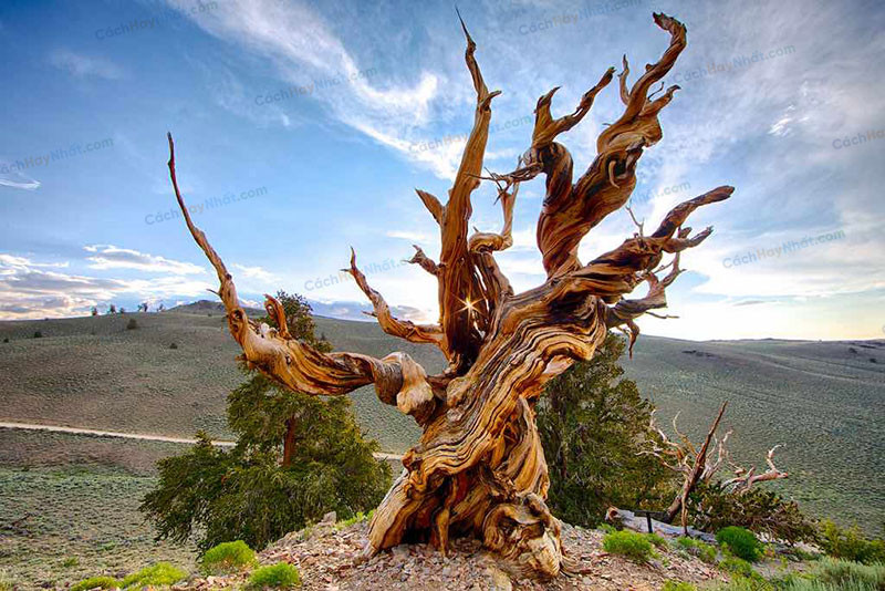 2. Methuselah Tree 4.851 tuổi