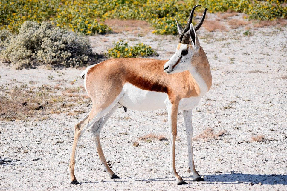 3. Linh dương nhảy (Springbok)
