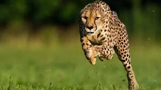Top 10 Loài Động Vật Chạy Nhanh Nhất Thế Giới