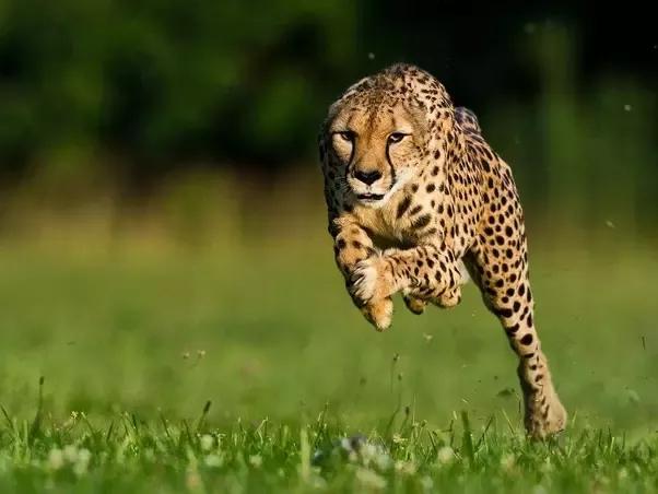 Top 10 Loài Động Chạy Nhanh Nhất Thế Giới