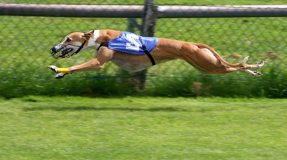 7. Chó săn Greyhound
