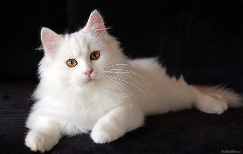 2. Mèo Ba Tư