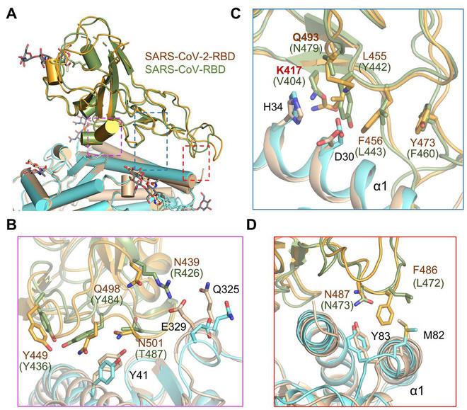 So sánh ảnh chụp liên kết của SARS-CoV-2 với ACE2 (màu cam và xanh lục) bằng cách đặt chồng nó lên liên kết của virus SARS với cùng thụ thể (màu xanh lá và vàng)