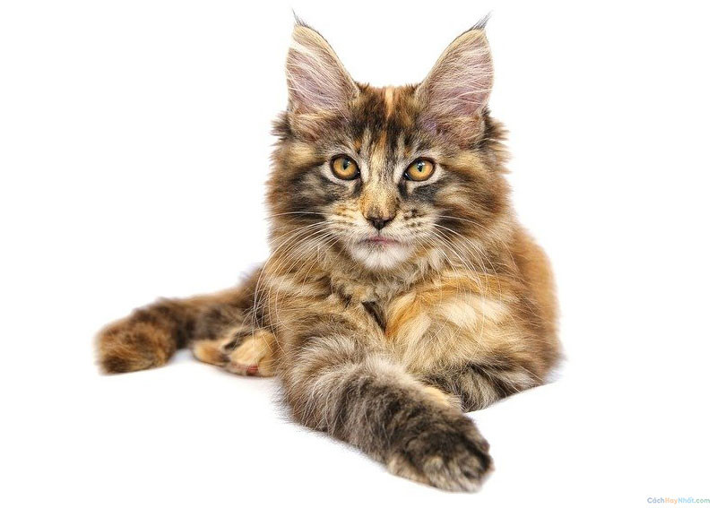 3. Maine Coon