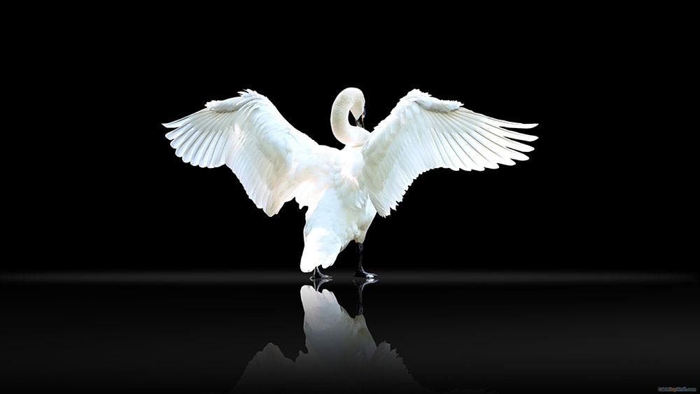 Thiên nga trắng xòe cánh trên nền đen