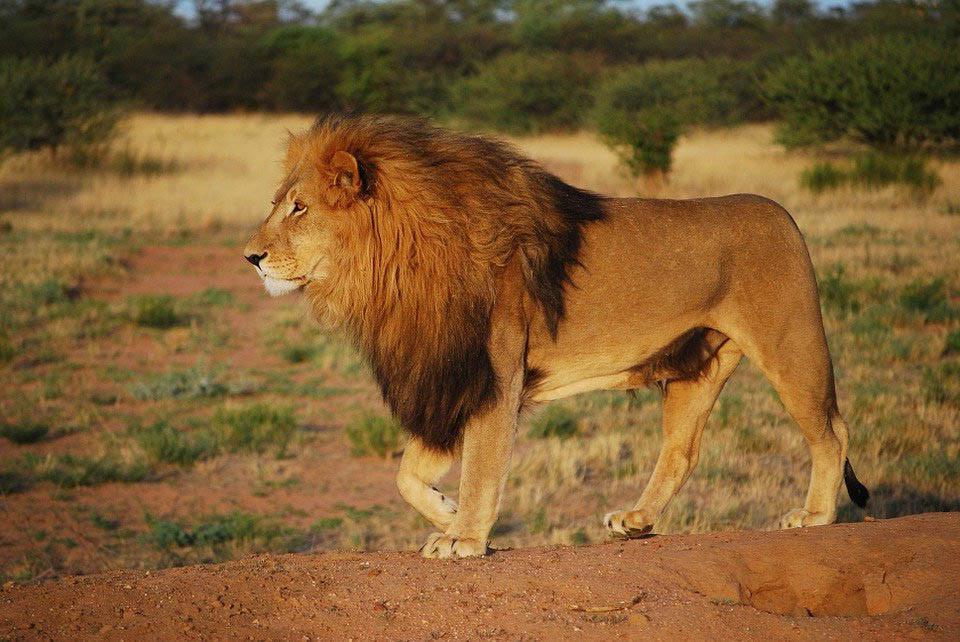 5. Sư tử