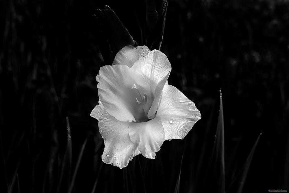 Hoa lay ơn trên nền xám đen