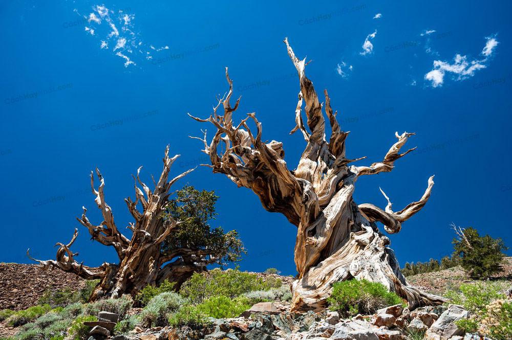 Top 10 cây sống lâu đời nhất trên thế giới