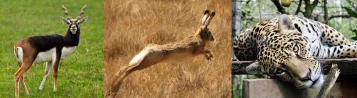 6. Sơn dương đen - Thỏ rừng - Báo đốm