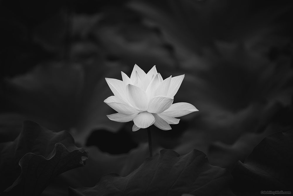 Ảnh hoa sen trắng nền đen làm Avatar đám tang