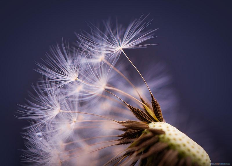 Mùa xuân là không khí - hoa bồ công anh